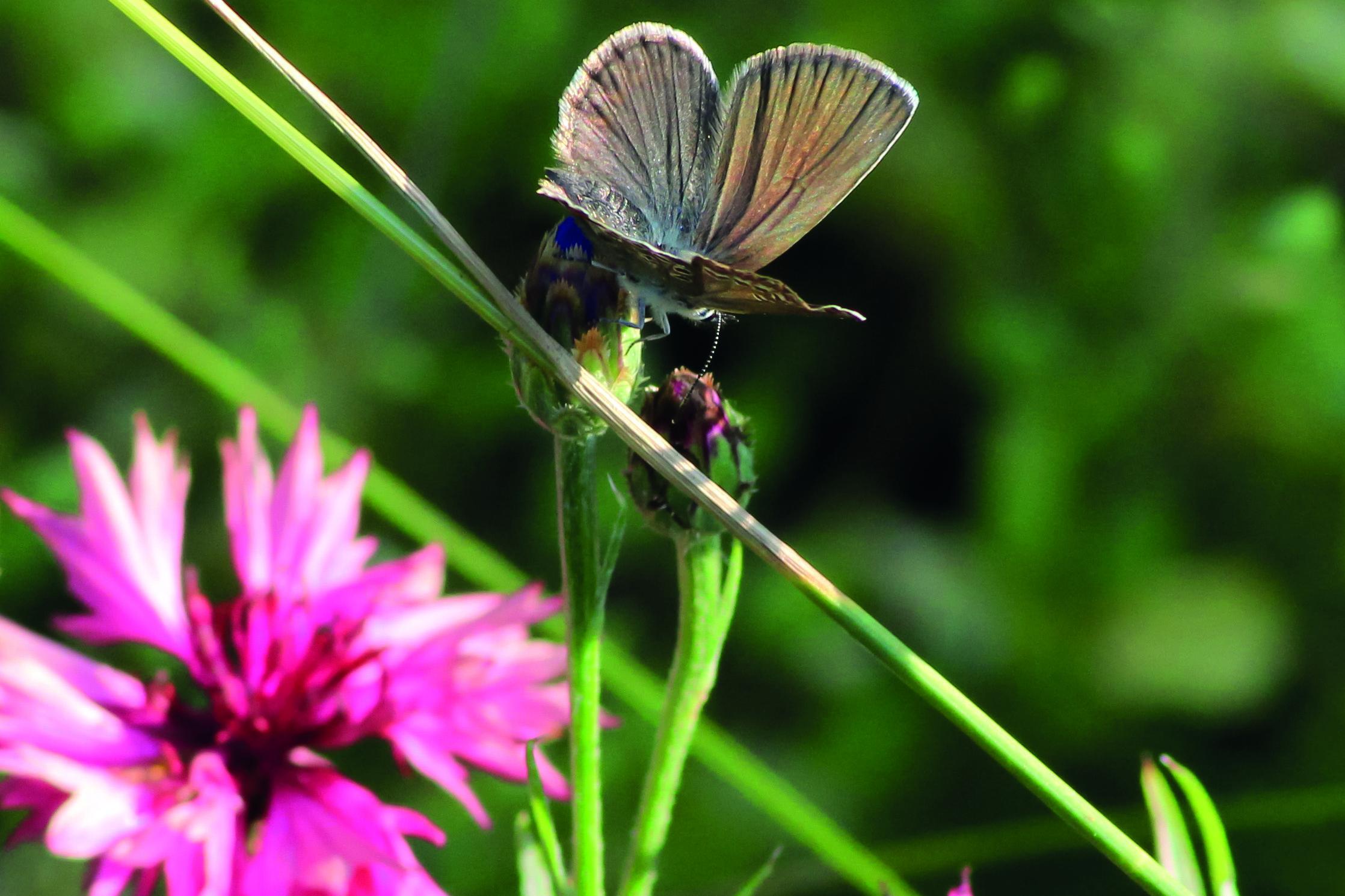 Blue butterfly in cornflower field