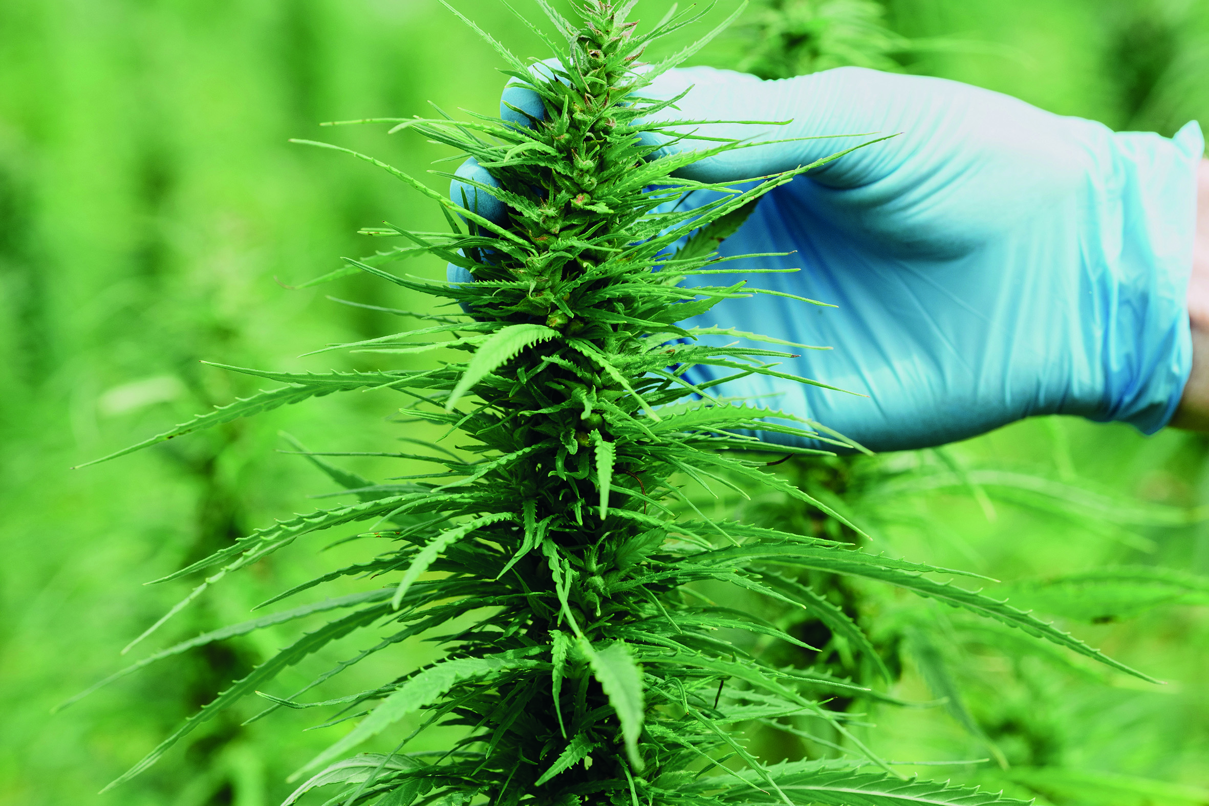 Scientist in gloves checking hemp plants and flowers on cannabis